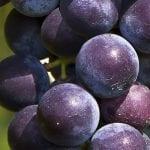 Grape Seed/Skin